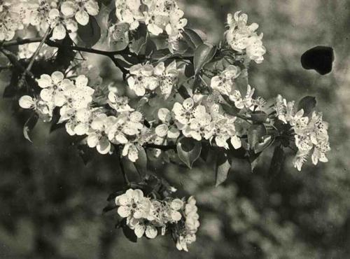 Paul W. John - Fotografiert FRÜHLINGSBLÜTEN um 1935 - Handabzug des Photographen auf kartonstarkem Baryt-Fotopapier kopen? Bied vanaf 35!