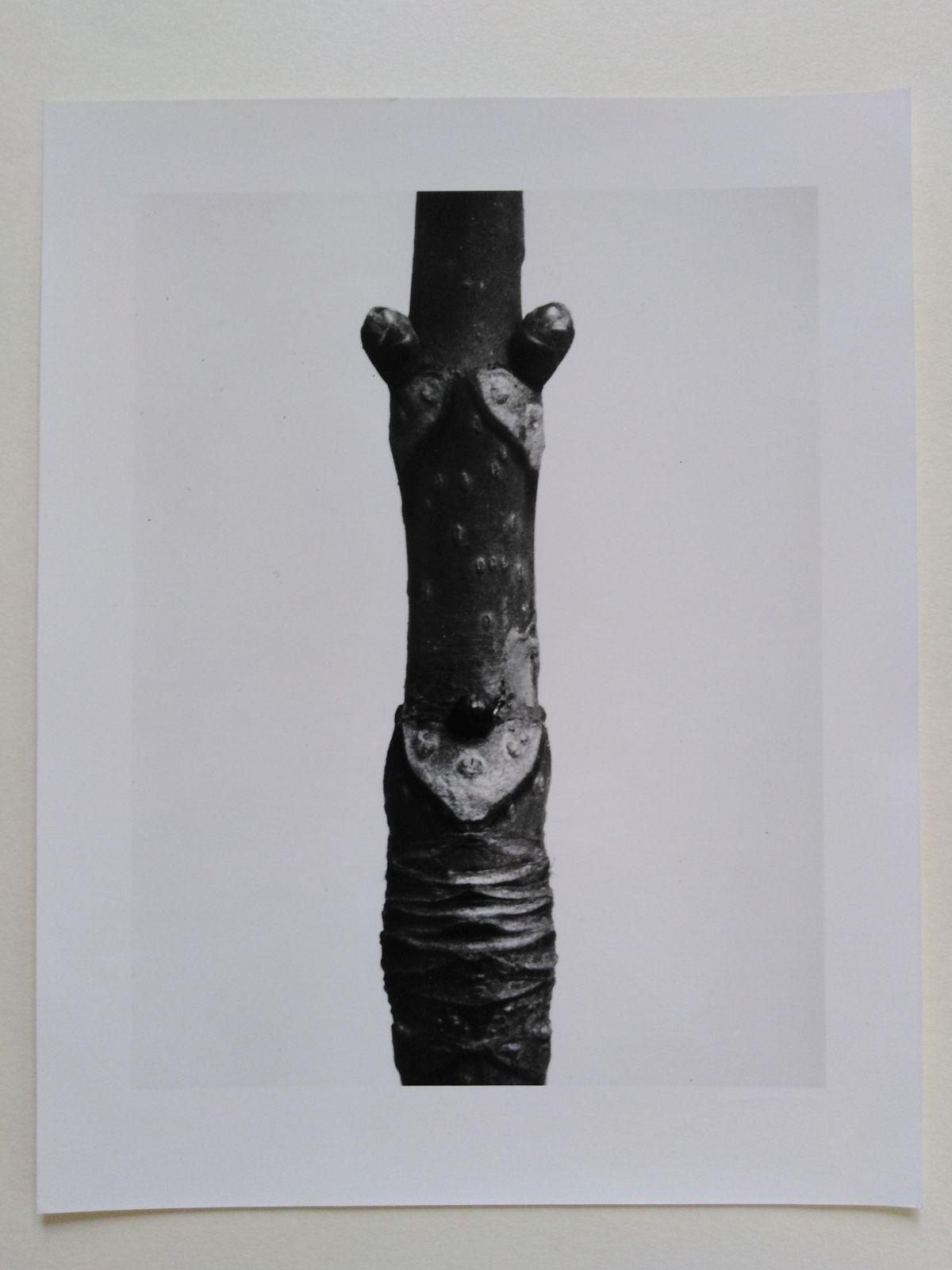 Karl Blossfeldt - Rosskastanie (Aesculus), Fotografie aus dem Nachlass kopen? Bied vanaf 100!
