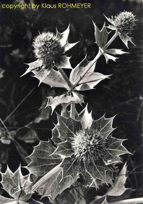 Klaus Rohmeyer - STRANDDISTEL - Handsignierte OriginalFotographie des BREMEN-Fotographen aus FISCHERHUDE kopen? Bied vanaf 95!