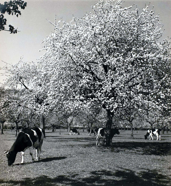 Cas Oorthuys - Betuwe - originele foto op bariet-fotopapier - 21469 kopen? Bied vanaf 60!