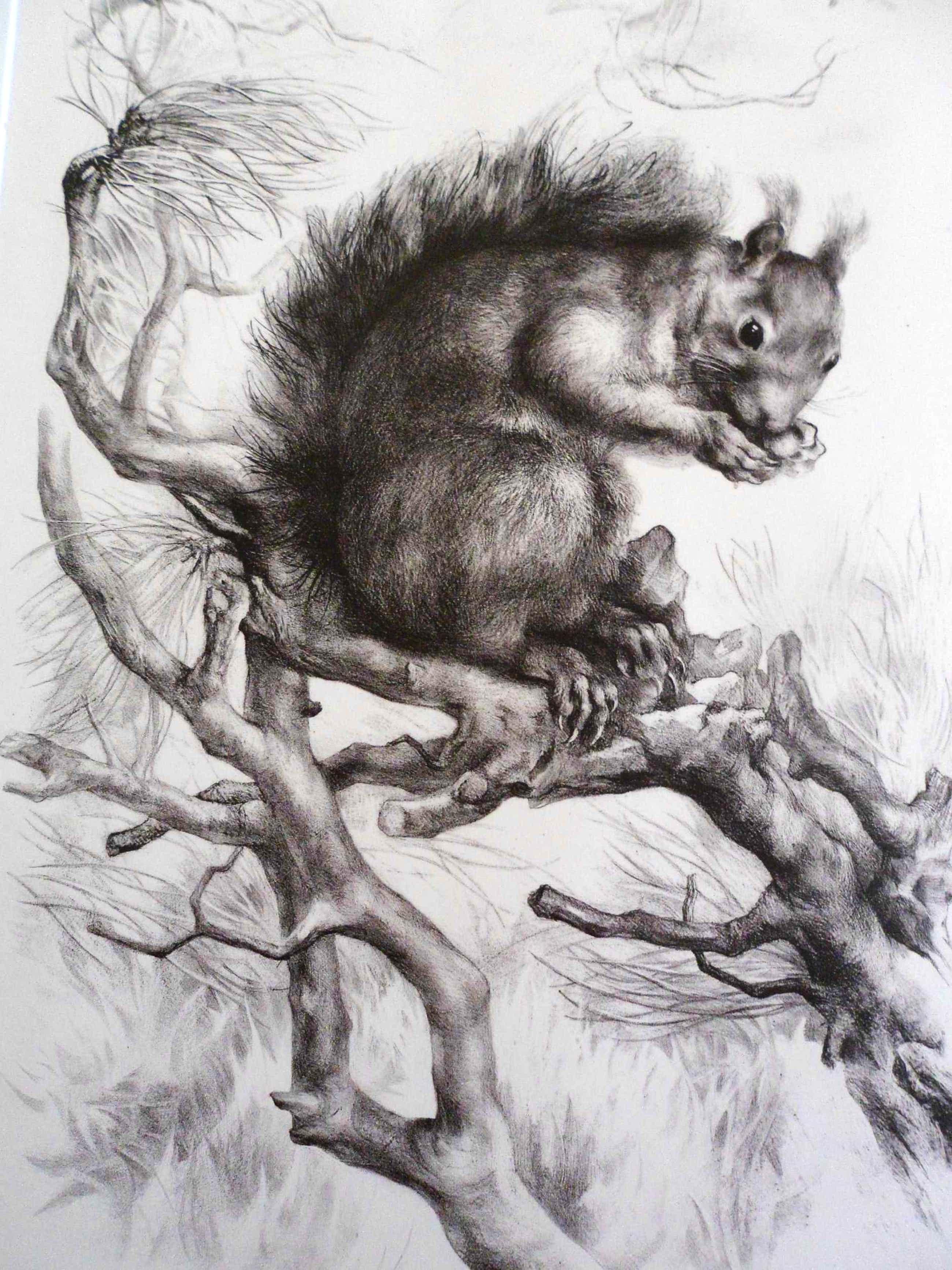 """Aart van Dobbenburgh - Groot realistisch Litho """"Eekhoorn op boomtak"""" gesigneerd 1962 kopen? Bied vanaf 40!"""